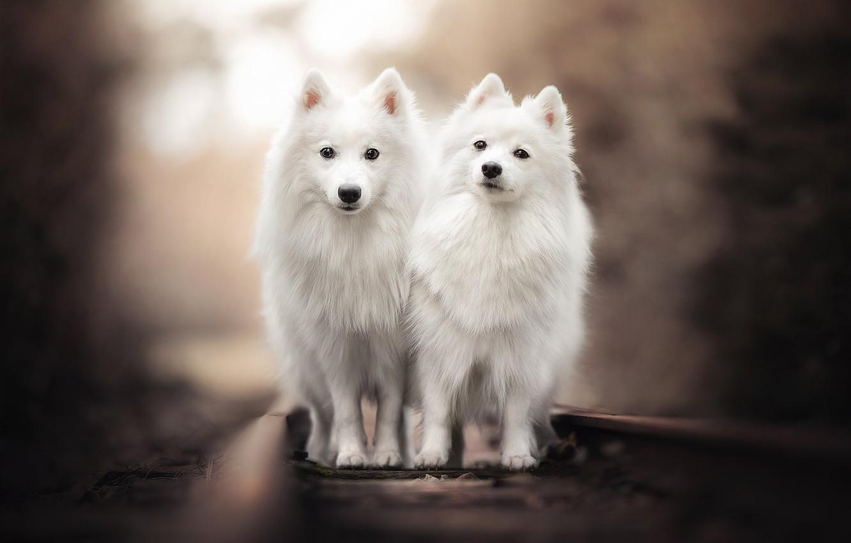 Фото обои рельсы, железная дорога, парочка, боке, две собаки, двойняшки, Японский шпиц