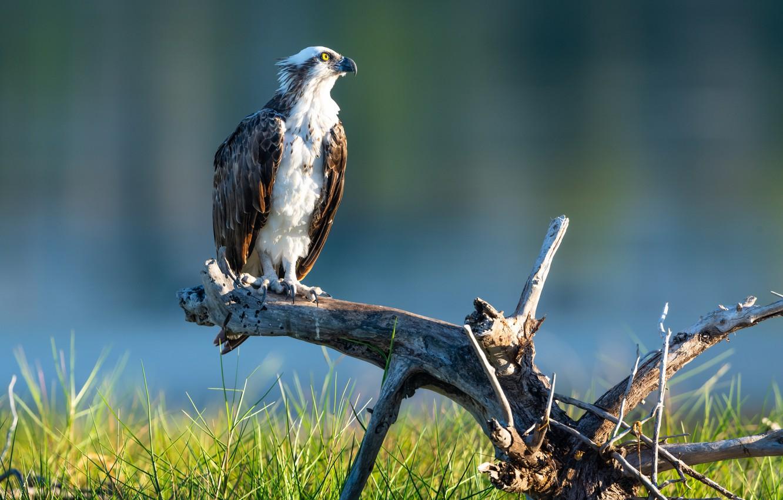 Фото обои птица, хищник, коряга, скопа