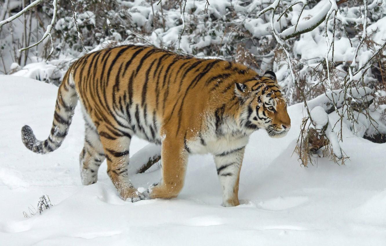 Фото обои зима, снег, деревья, тигр, дикая кошка