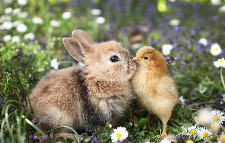 Фото обои трава, цветы, звери, ромашки, кролик, цыпленок