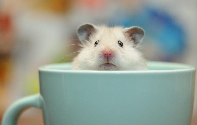 Фото обои фон, чашка, морская свинка