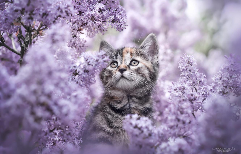 Фото обои цветы, природа, котенок, сирень, Natalie Grobe