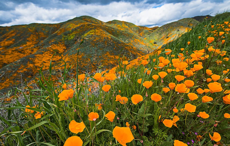 Фото обои облака, цветы, горы, холмы, поляна, яркие, Калифорния, США, оранжевые, цветение, много, эшшольция
