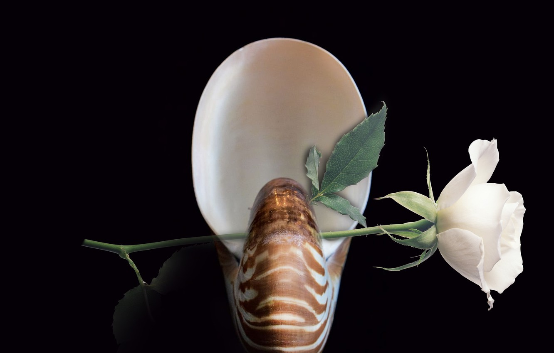 Фото обои flower, decoration, shell, nautilus, still life closeup