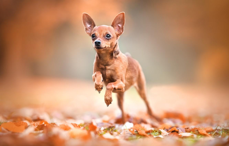 Фото обои листья, фон, боке, пёсик, собачонка, Карликовый пинчер
