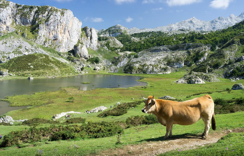 Фото обои зелень, трава, горы, озеро, камни, скалы, холмы, берег, растительность, корова, пастбище, водоем, бык
