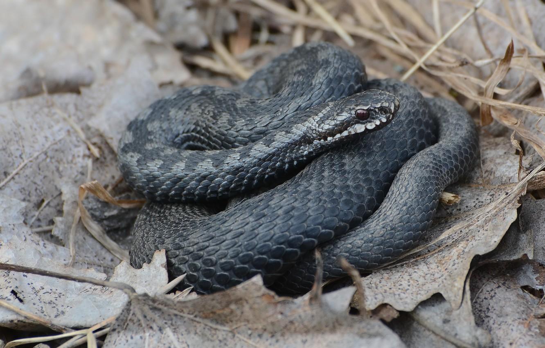 Фото обои природа, змея, весна, пресмыкающееся, гадюка обыкновенная