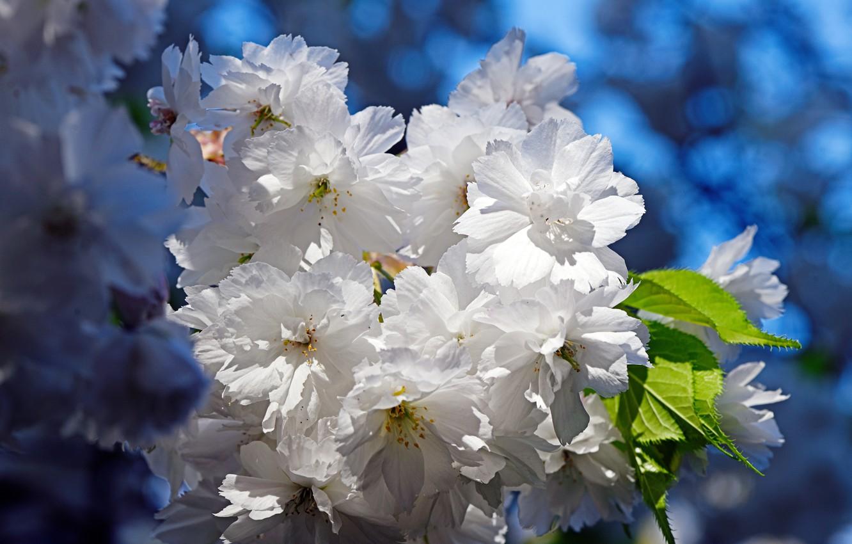 Фото обои цветы, ветки, весна, сакура, белые, цветение, голубой фон