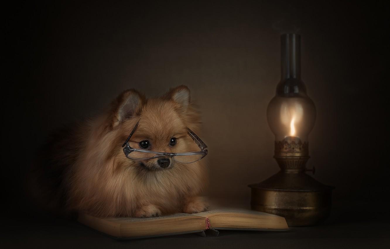 Фото обои животное, лампа, собака, очки, книга, пёс, шпиц