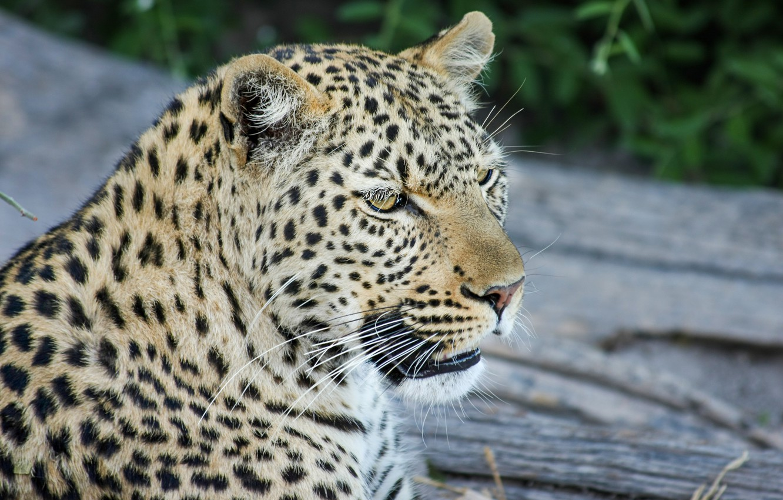 Фото обои усы, морда, голова, леопард
