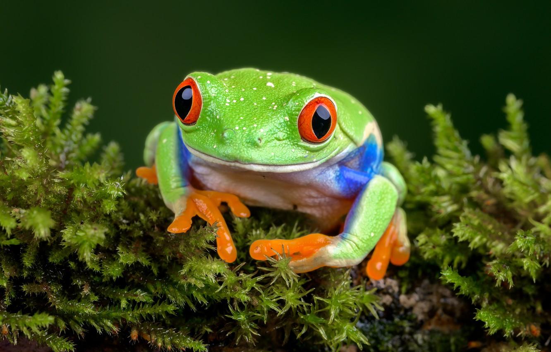 Фото обои лягушка, древесная лягушка, red-eyed treefrog