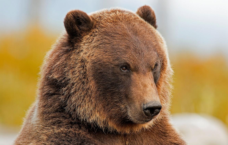 Картинки медвежья морда