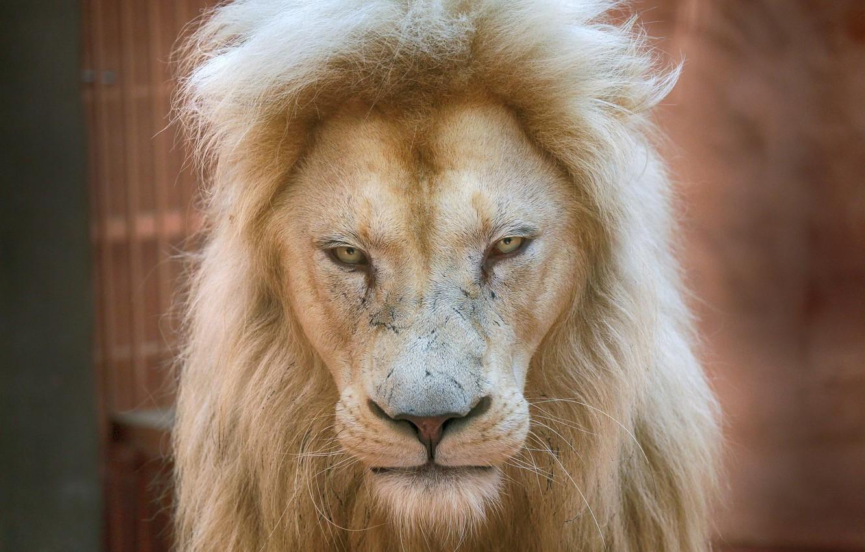 Фото обои Lion, dignity, prestige, white lion, regard