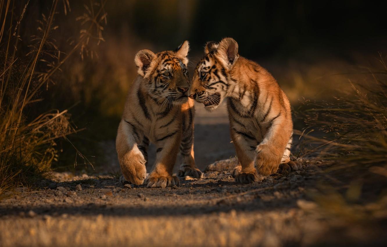 Фото обои животные, природа, хищники, дорожка, парочка, тигрята, детёныши