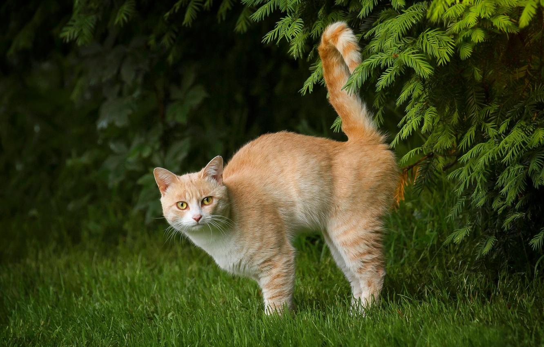 Фото обои кошка, трава, кот, ветки, рыжий, хвост, котейка