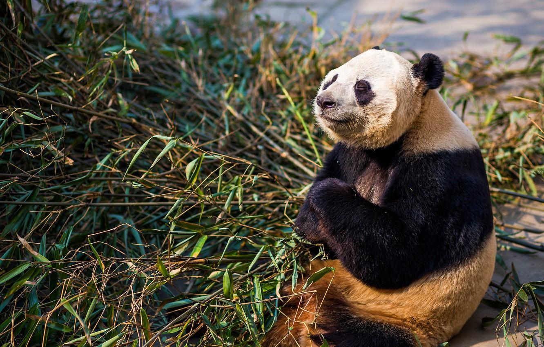 Фото обои морда, свет, поза, лапы, бамбук, медведь, медитация, панда, сидит, закрытые глаза