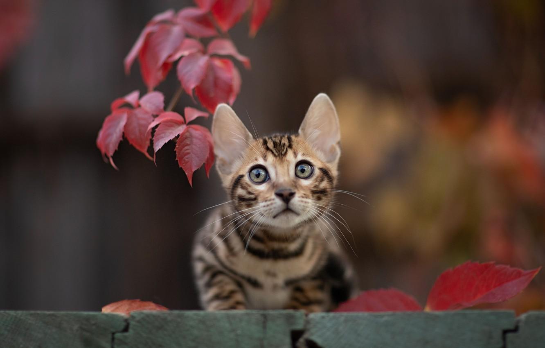 Фото обои кошка, взгляд, листья, мордочка, котёнок, боке, котейка, Юрий Коротун