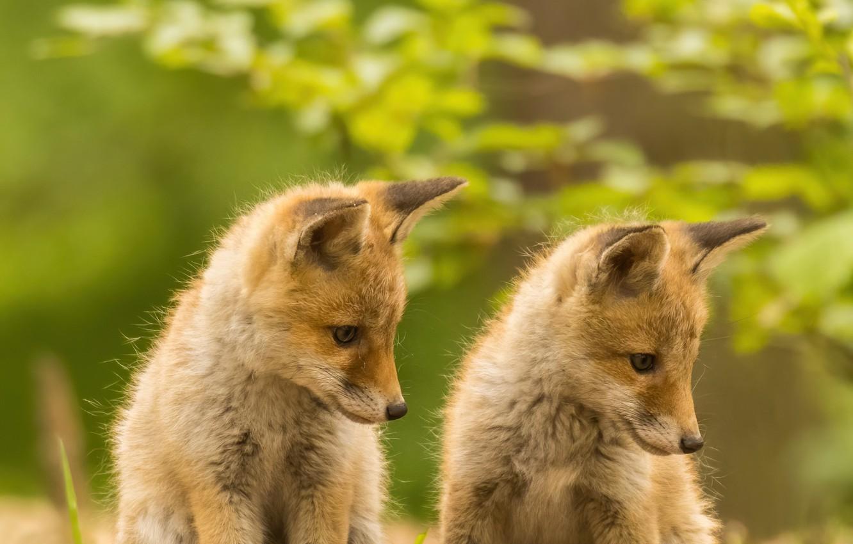 Фото обои лисы, рыжие, парочка, дуэт, боке, детёныши, лисята