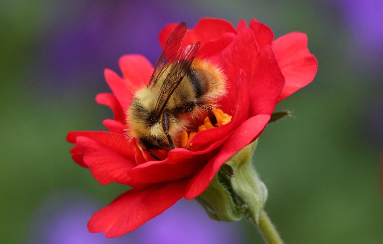 Фото обои цветок, макро, фон, насекомое, Шмель, Гравилат