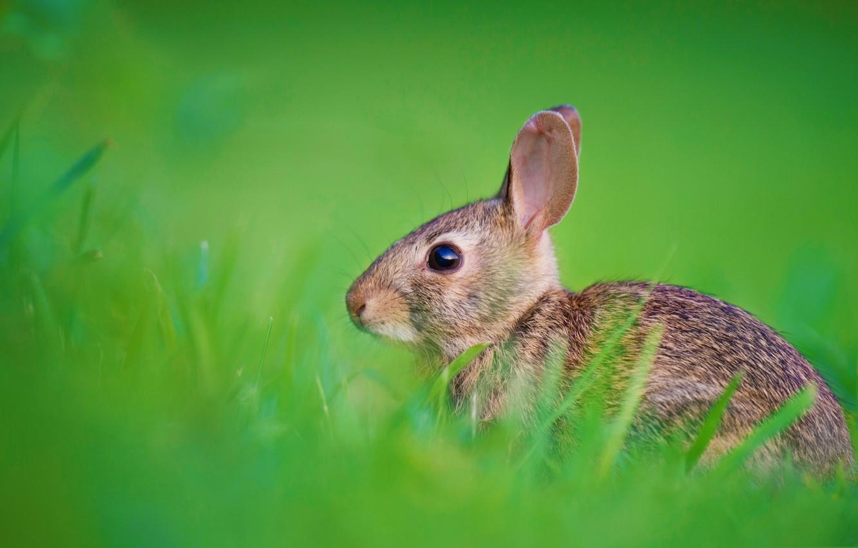 Фото обои трава, природа, заяц, кролик, уши