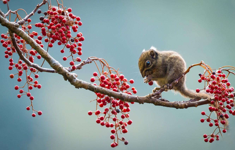 Фото обои ягоды, ветка, суслик Бердмора