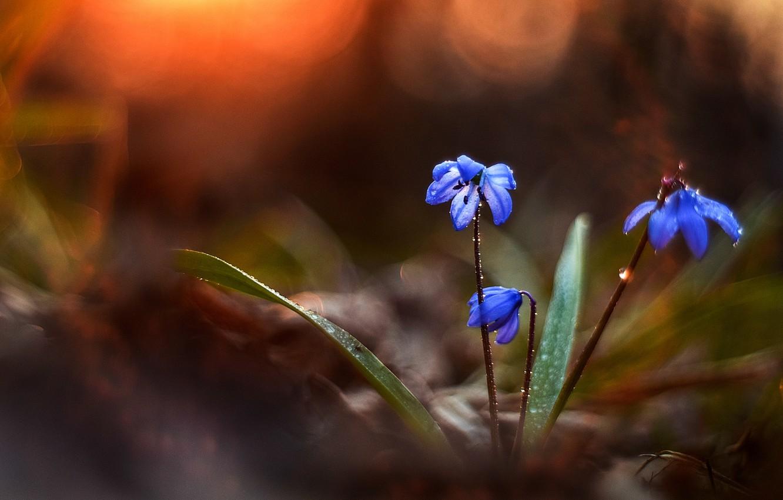 Фото обои вода, капли, макро, природа, роса, весна, первоцветы, боке, пролеска