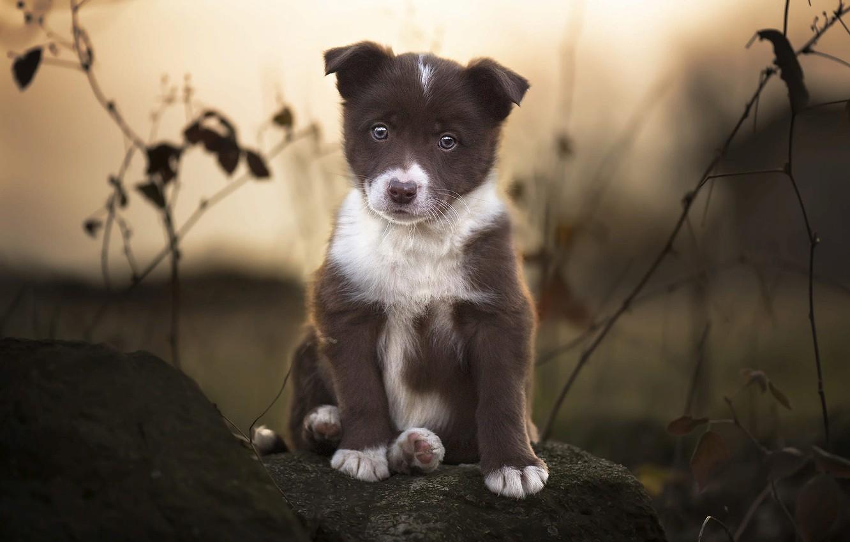 Фото обои ветки, природа, животное, камень, собака, щенок, бордер-колли
