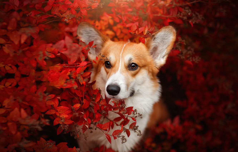 Фото обои осень, взгляд, морда, ветки, собака, Вельш-корги, Светлана Писарева