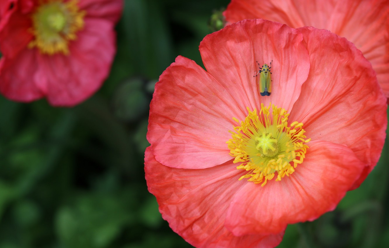 Фото обои капли, макро, мак, насекомое