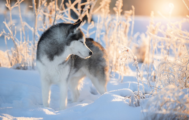 Фото обои зима, снег, ветки, природа, животное, собака, хаски, пёс, Светлана Писарева