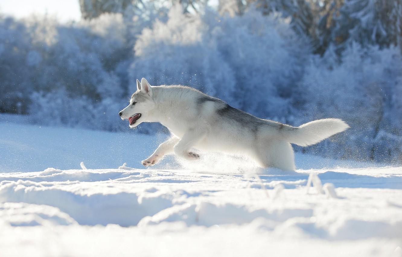 Фото обои зима, снег, природа, собака, бег, хаски, пёс, Лана Полякова