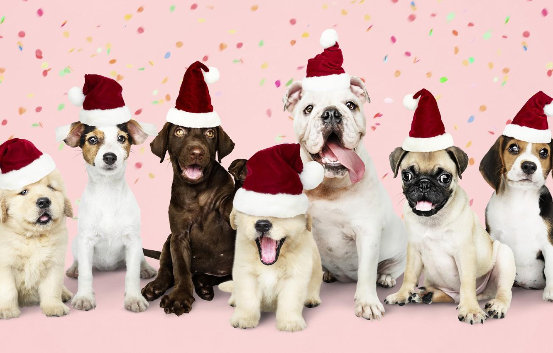 Фото обои собака, Новый Год, Рождество, щенок, happy, санта, Christmas, puppy, dog, New Year, cute, Merry, santa …
