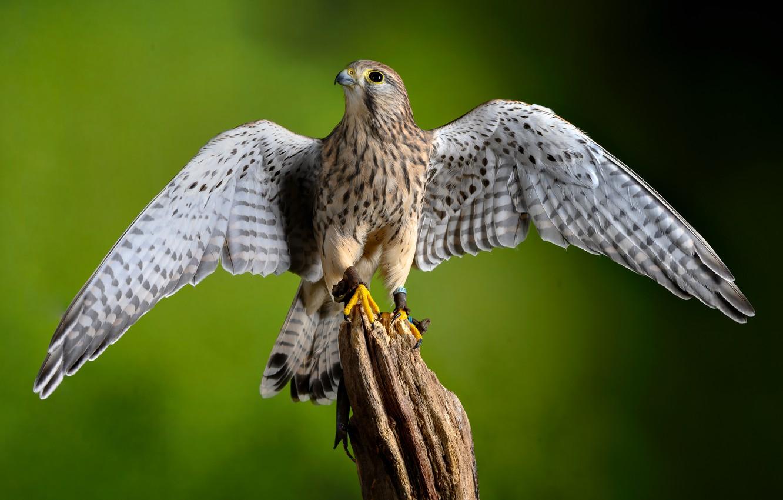 Фото обои птица, крылья, хищник, пустельга