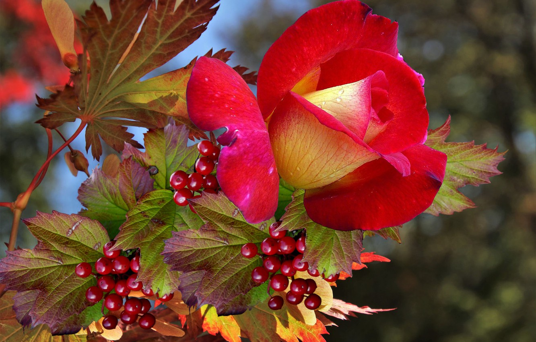 Фото обои осень, Роза, калина