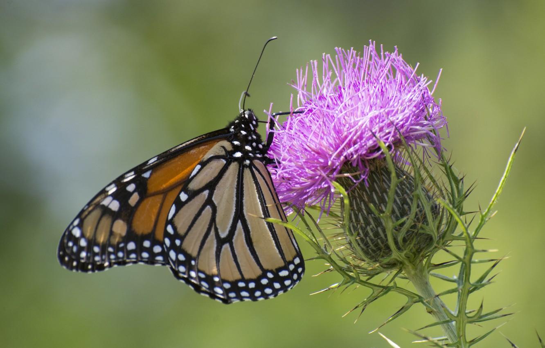Фото обои цветок, бабочка, чертополох
