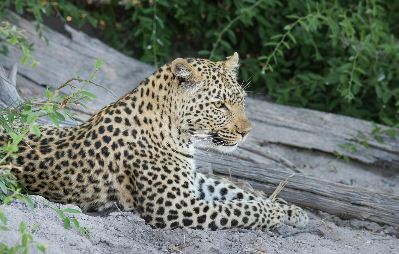 Фото обои морда, хищник, леопард, лежит