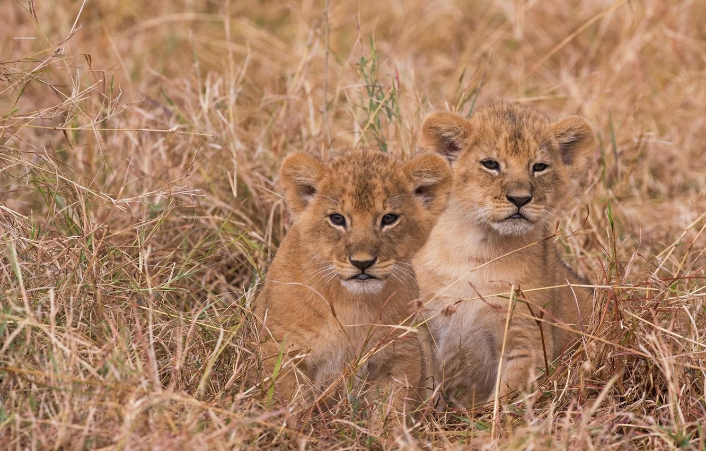 Фото обои трава, котята, львята, парочка, детёныши