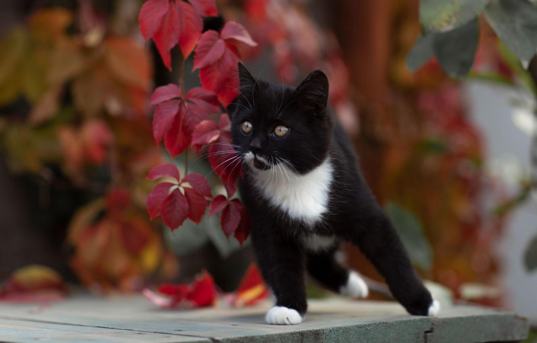 Фото обои кошка, котёнок, боке, котейка, Юрий Коротун