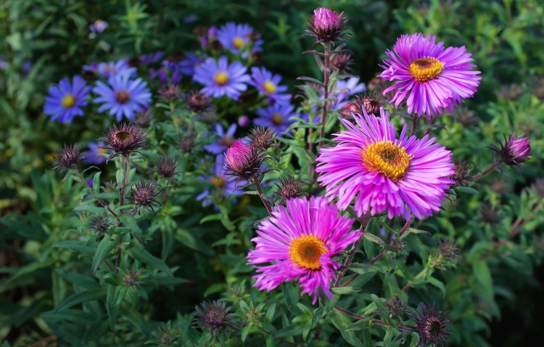 Цветок астра в саду (54 фото): как выглядит Американская красавица ... | 850x1332