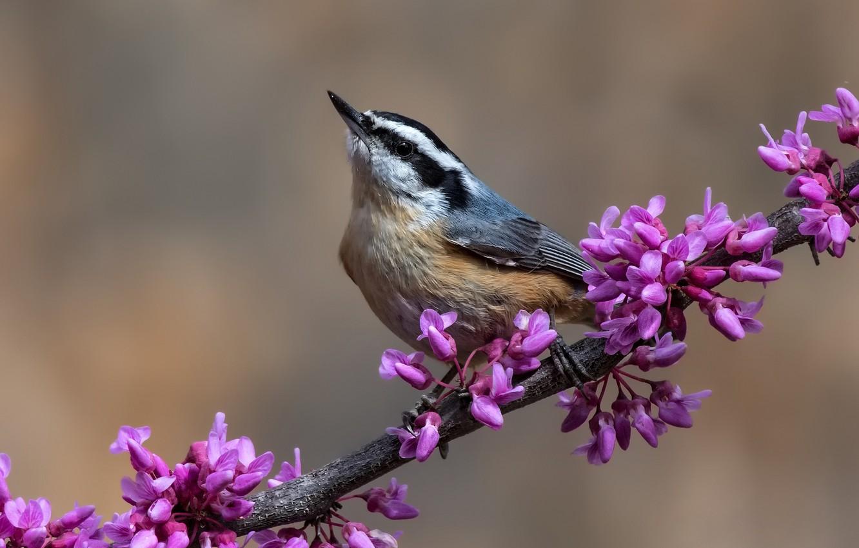 Фото обои птица, ветка, цветки, поползень