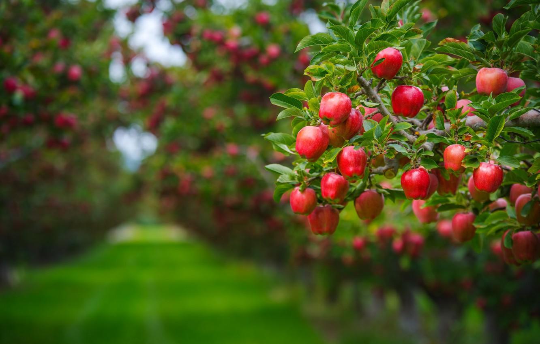 Фото обои лето, листья, ветки, фон, дерево, газон, яблоки, еда, красота, сад, урожай, дорожка, красные, фрукты, зеленый …