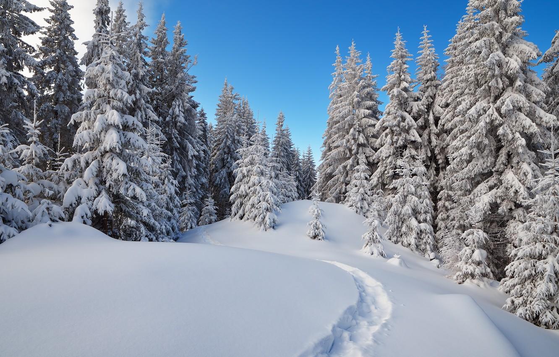 Фото обои зима, лес, снег, деревья, ель, тропа