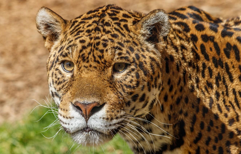 Фото обои взгляд, морда, хищник, леопард