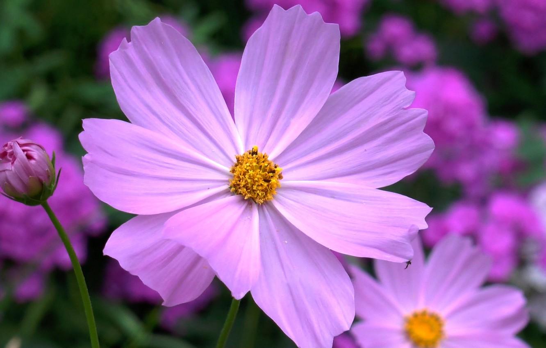 Фото обои цветок, лето, космея