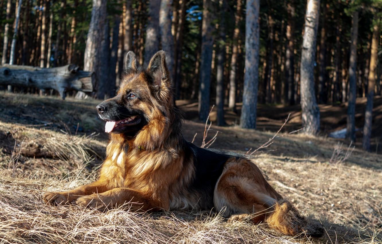 Фото обои собака, немецкая овчарка, овчарка, длинношерстная, норвегия де заубер хоф