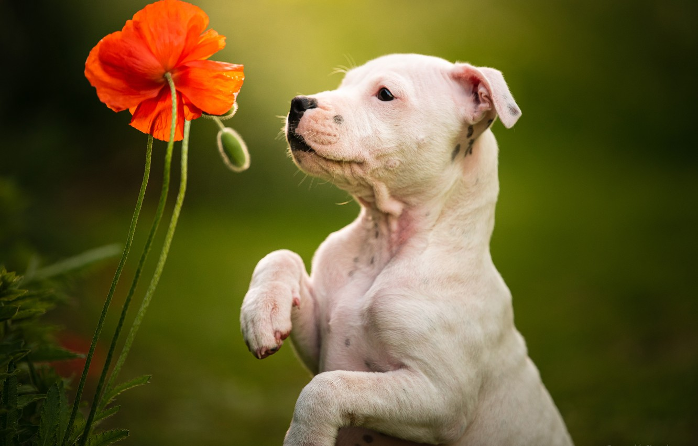 Фото обои цветок, фон, мак, собака, лапы, щенок, стойка, пёсик, Стаффордширский бультерьер