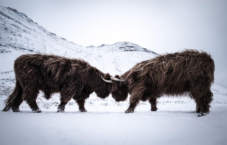 Фото обои fight, scotland, beef