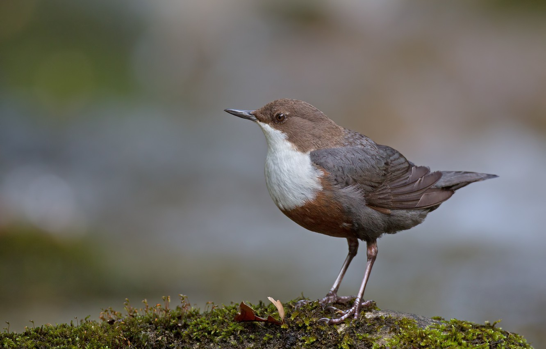 Фото обои птица, камень, мох, птаха, оляпка