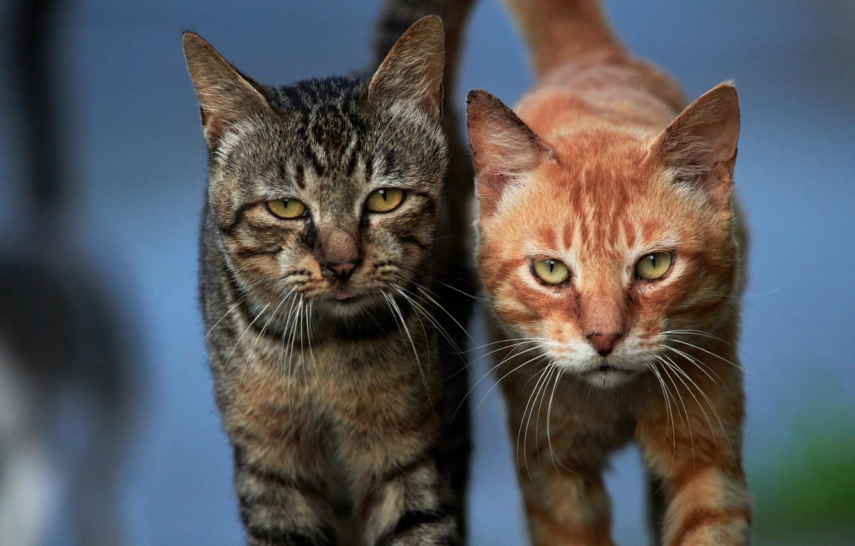 Фото обои взгляд, кошки, фон, коты, парочка, мордочки, котейки, два кота