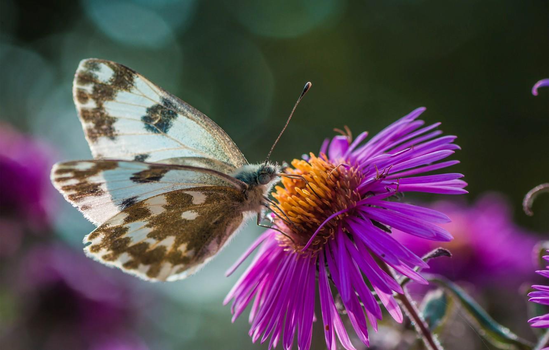 Фото обои макро, цветы, природа, бабочка, насекомое, боке